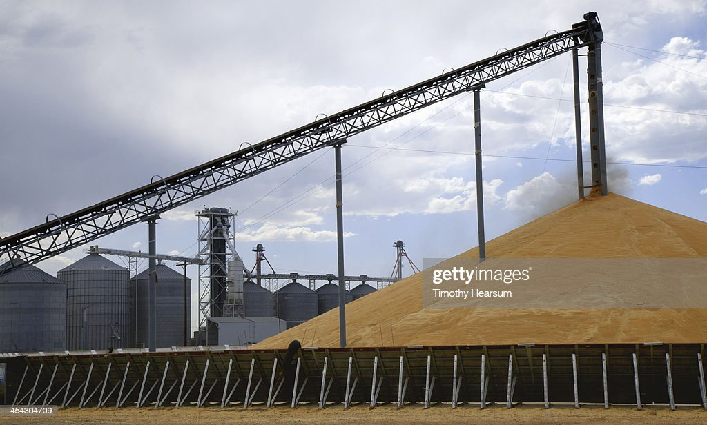 "Wheat being off loaded onto ""stadium stack"" : Stock Photo"