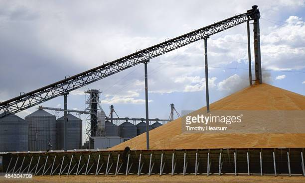 """wheat being off loaded onto """"stadium stack"""" - timothy hearsum photos et images de collection"""