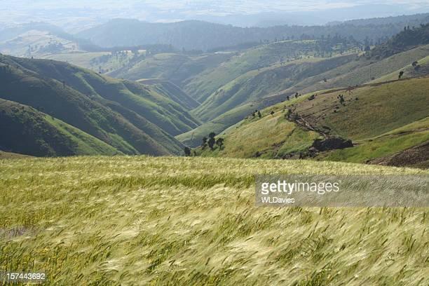 trigo soplando en el viento - etiopía fotografías e imágenes de stock
