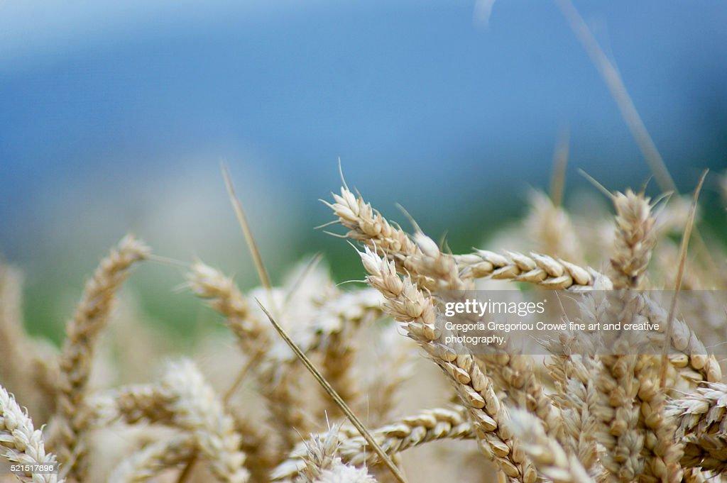Wheat Close-Up : Stock Photo