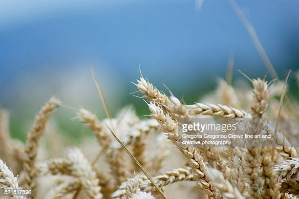 wheat close-up - gregoria gregoriou crowe fine art and creative photography. stock pictures, royalty-free photos & images