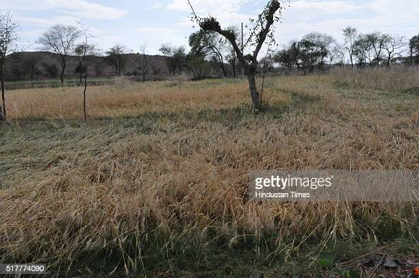 Wheat crop damaged by hailstorm near Jatara village on March 17 2016 in Tikamgarh district India The already serious agroecological crisis in...