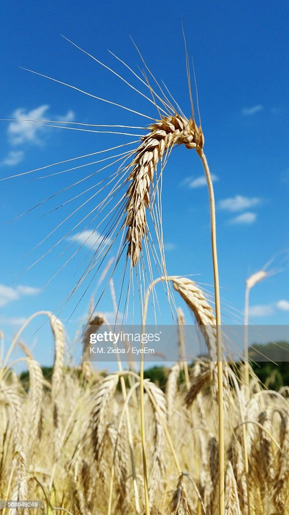 Wheat Crops On Field Against Blue Sky : Stock Photo