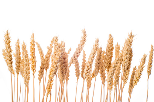 Wheat ears isolated on a white background 509347845