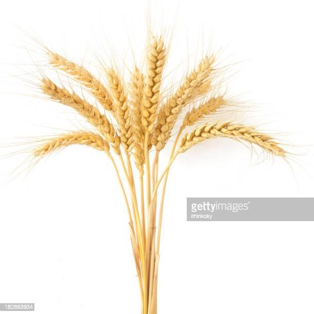 Weizen-Ohren