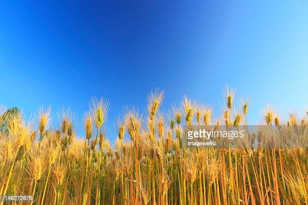Wheat farm