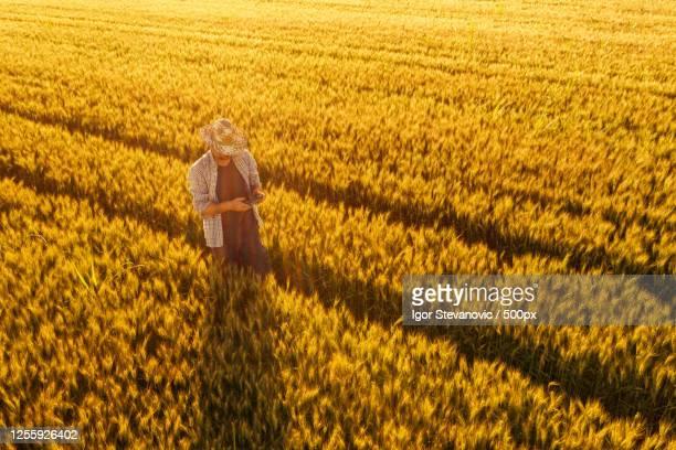 wheat farmer with drone remote controller in field, novi sad, serbia - スマート農業 ストックフォトと画像