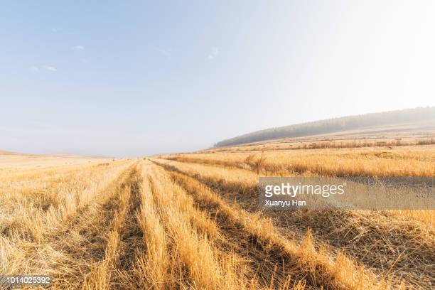 wheat field after harvest - stubble stock pictures, royalty-free photos & images