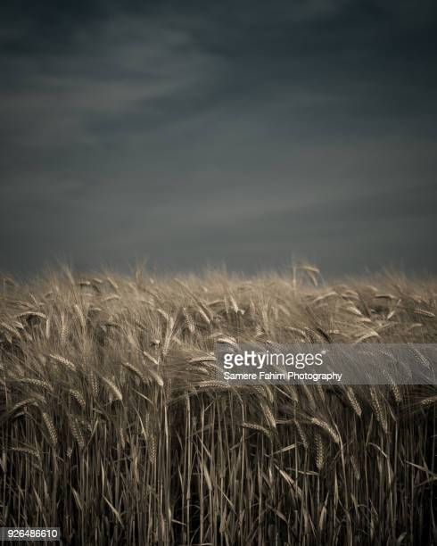 wheat field against a blue sky - samere fahim stock photos and pictures