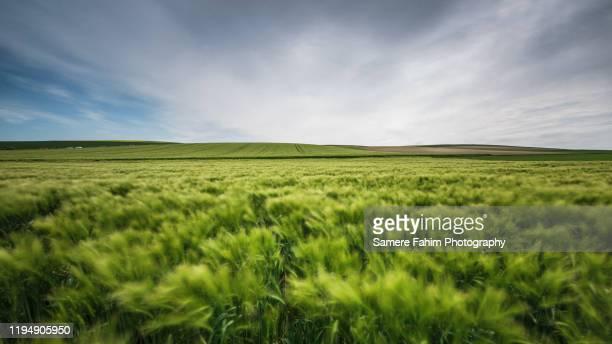 wheat field against blue sky - オードフランス地域圏 ストックフォトと画像