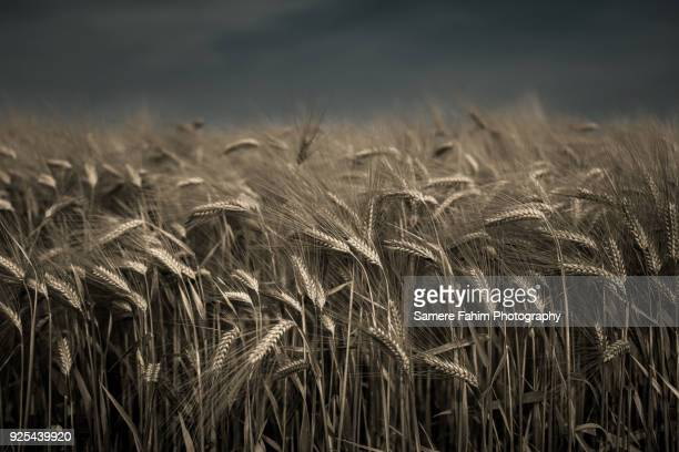 wheat field against blue sky - samere fahim stock photos and pictures
