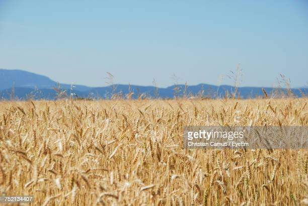 Wheat Field Against Clear Blue Sky