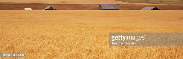 wheat field and barns - timothy hearsum stock photos and pictures
