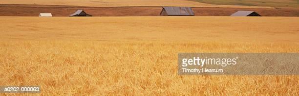 wheat field and barns - timothy hearsum ストックフォトと画像