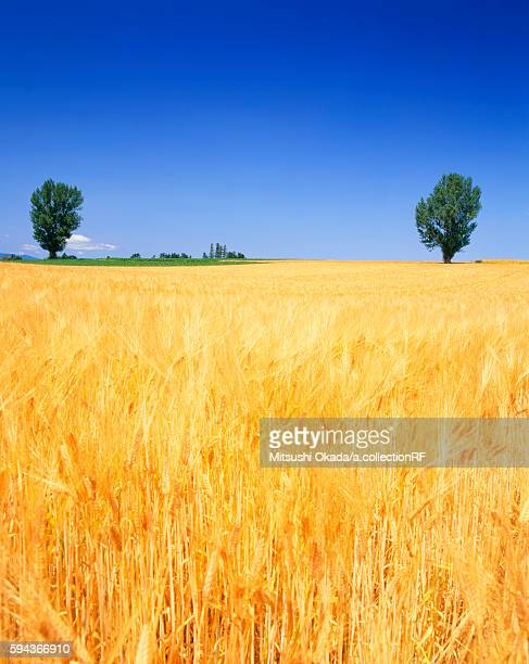 Wheat field and trees in summer