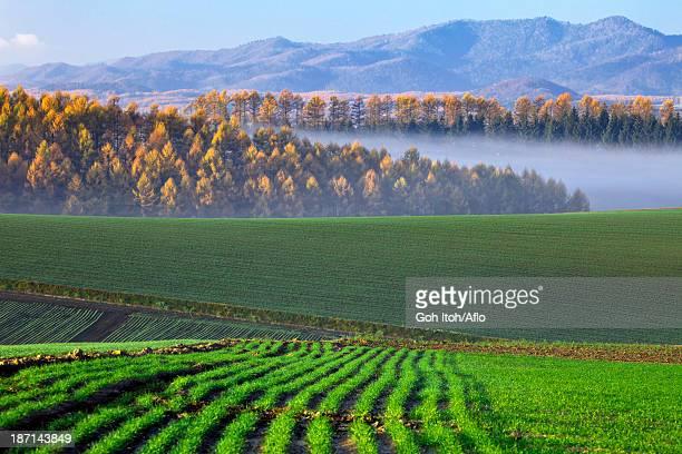 Wheat field at morning in Biei, Hokkaido