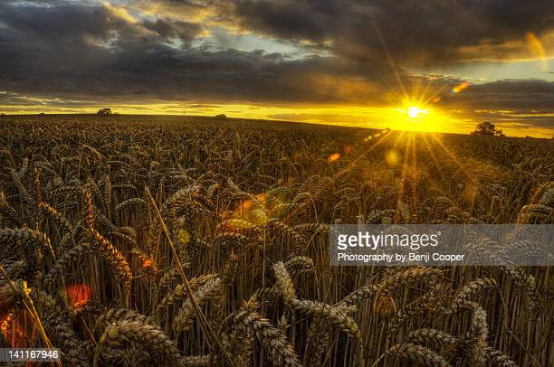 wheat field at sunset - crewe stock pictures, royalty-free photos & images
