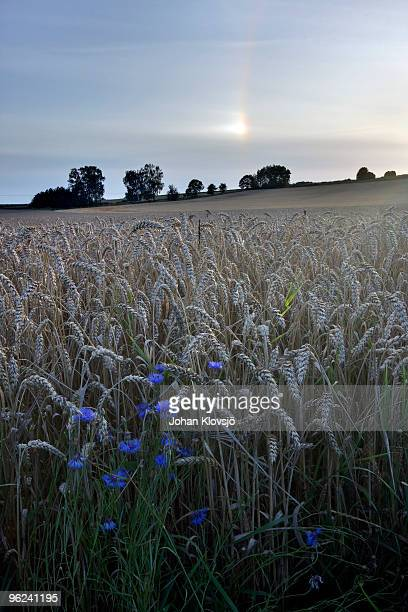 wheat field, blue cornflowers and halo phenomenon - light natural phenomenon stock pictures, royalty-free photos & images