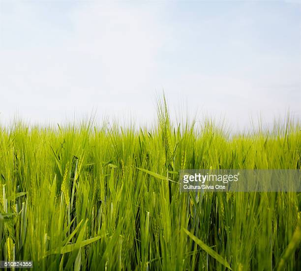 Wheat field, close up