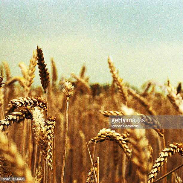 Wheat field, close-up on husks of wheat.