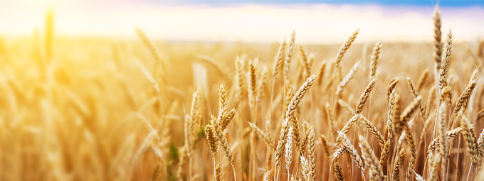 Wheat Field Ears Golden Wheat Close. Wallpaper. 1159617505