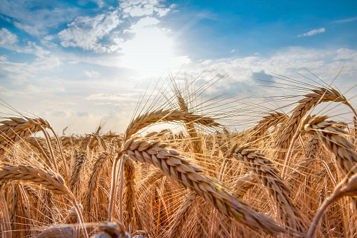 Wheat field. Ears of golden wheat close up. Beautiful Nature Sunset Landscape. Rural Scenery under Shining Sunlight. Background of ripening ears of wheat field. Rich harvest Concept. Label art design 1050130316