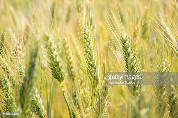 Champ de blé en jour