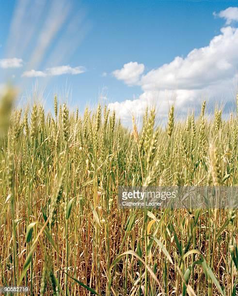 wheat field in fargo north dakota - fargo north dakota stock pictures, royalty-free photos & images