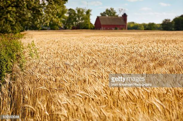 Wheat field in golden colors