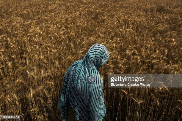 A Wheat Field in India