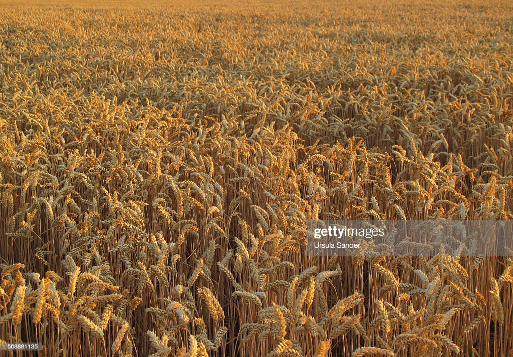 Wheat field in summer, Germany : Stock Photo