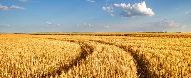 Wheat field in summer 1146560985