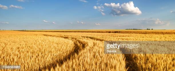 wheat field in summer - wheat stock pictures, royalty-free photos & images