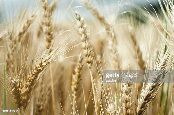 wheat field in summer - rye grain stock pictures, royalty-free photos & images