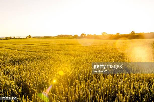 wheat field in sunlight - weizenfeld stock-fotos und bilder