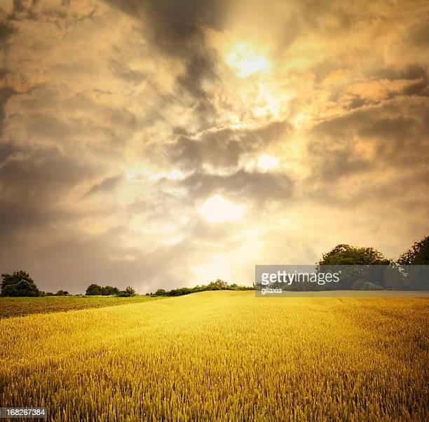 Wheat field in sunset.