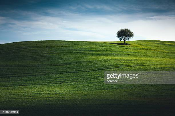 Wheat Field In Tuscany With Lonely Tree