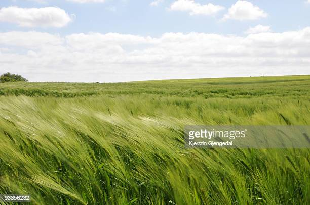 wheat field in wind - wind stockfoto's en -beelden