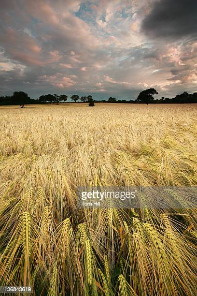 wheat field, morpeth, northumberland - morpeth stock pictures, royalty-free photos & images