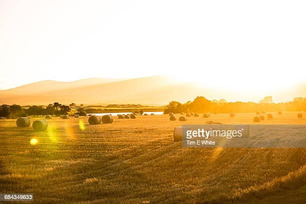 Wheat field near Dornoch, North Scotland, UK