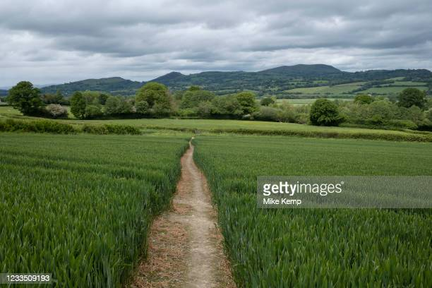Wheat field on agricultural farmland in Shropshire on 9th June 2021 in Bishops Castle, United Kingdom. Wheat is a grass widely cultivated for its...