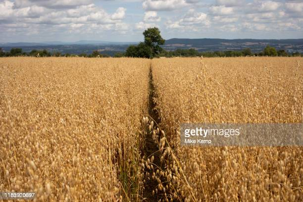 Wheat field on agricultural farmland near Dorstone in the Golden Valley Herefordshire United Kingdom The Golden Valley is the name given to the...