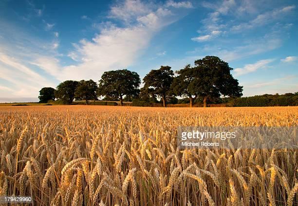 Wheat field on summer evening