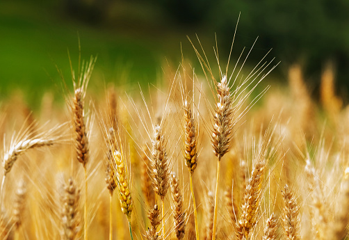 Wheat field 1030949366