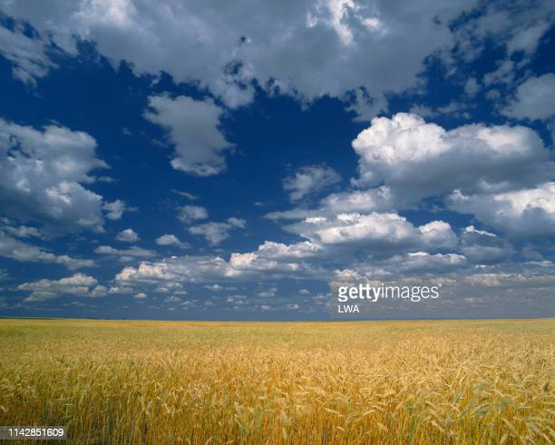 wheat field - dramatic landscape stock pictures, royalty-free photos & images