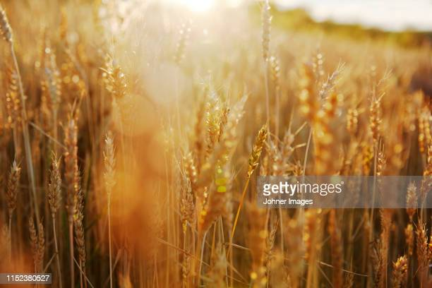 wheat field - feld stock-fotos und bilder