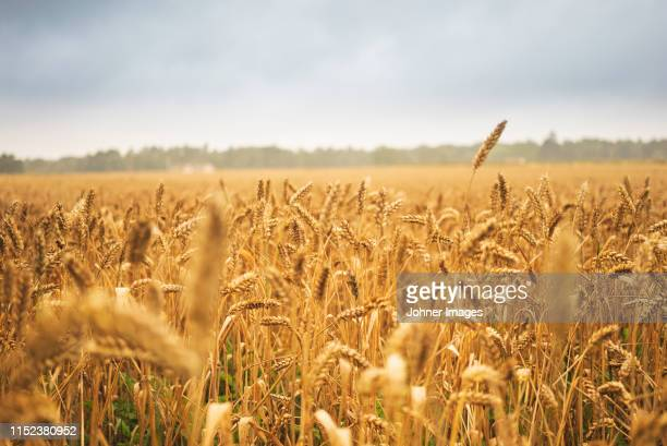 wheat field - cereal plant stock pictures, royalty-free photos & images