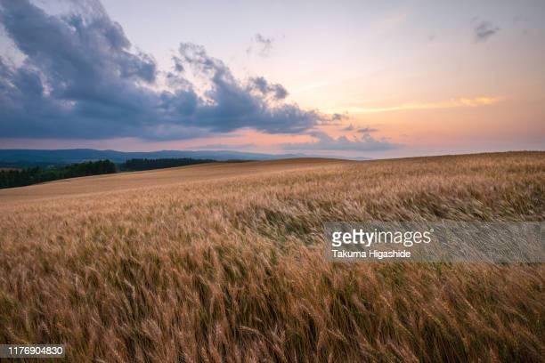 wheat field - crepuscolo foto e immagini stock