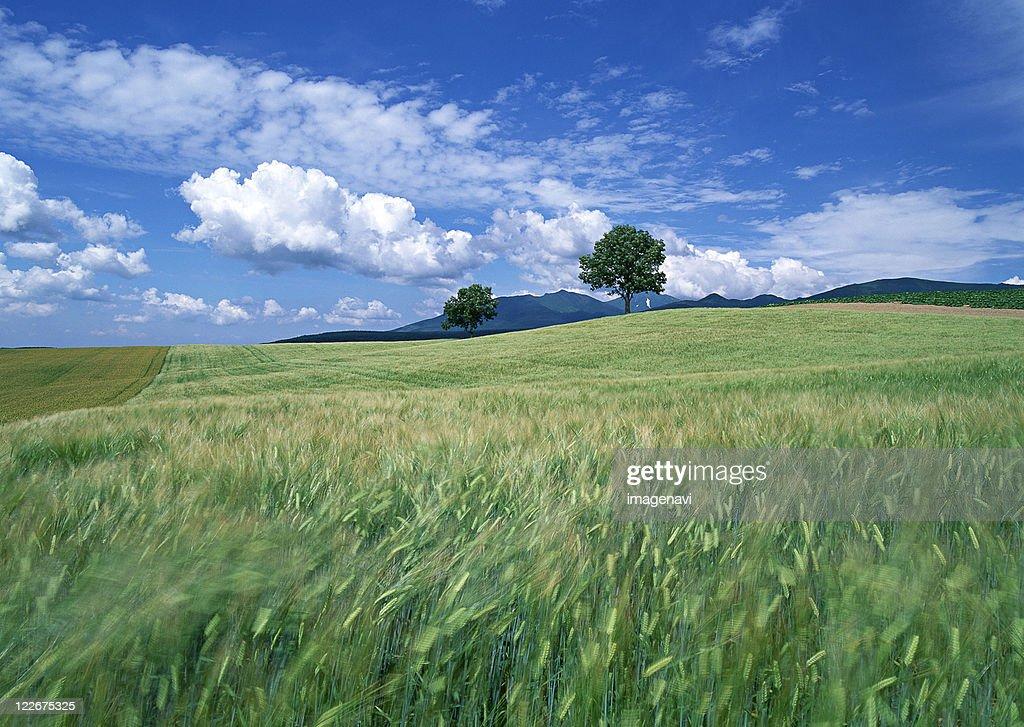 Wheat Field : ストックフォト