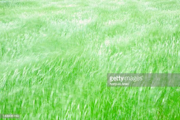 wheat field - 指宿市 ストックフォトと画像